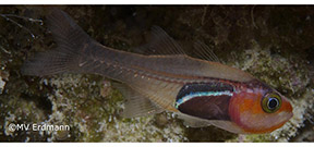 New cardinalfish described in the Bird's Head Photo