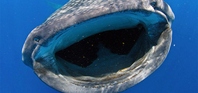 Final call: Wetpixel whale sharks 2013 Photo