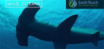 Video: Diver surrounded by hammerhead sharks Photo