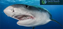Earth Touch: Shark Week encounters Photo