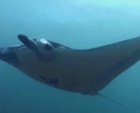 Video: Diving Manta Alley by Earth Touch Photo