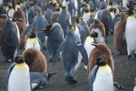 Penguin flipper bands may harm birds and research Photo