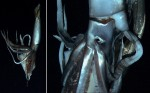 Giant squid filmed at 2,950ft Photo