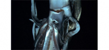 Scientists collect three miniature giant squid Photo