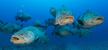 Earth Day 2021: Help Ensure Continued Protection of Florida Goliath Groupers Photo