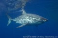 Guadalupe great white shark expedition, August 25-30, 2006 Photo