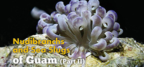 Video: Nudibranchs and Sea slugs of Guam part two Photo