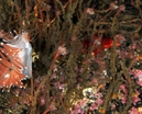 Report: Gulen Nudibranch Safari Photo