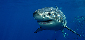 Western Australian shark cull halted Photo