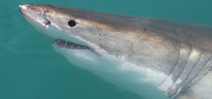 Great white shark population threatened Photo