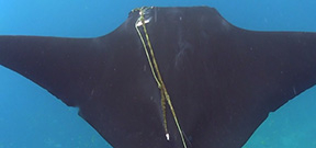 Video: Aiding a manta Photo