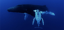 Video: Whale Song by Howard and Michele Hall Photo