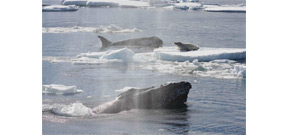 Study published on why humpbacks protect other mammals from Orca predation Photo