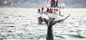 Icelandic fin whale hunt cancelled Photo