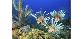 Whole Foods set to sell invasive Lionfish Photo