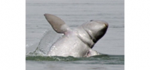 Only 5 Irrawaddy dolphin remain on the planet Photo