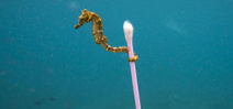 DPReview interviews Justin Hofman about his seahorse image Photo