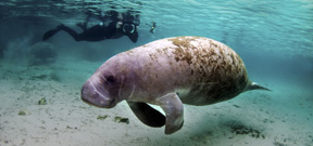 Florida manatee moved off the endangered species list Photo