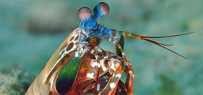 Two viral videos about the amazing Mantis Shrimp Photo