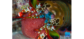 Video: Borneo from Below on Mantis Shrimp Photo