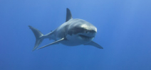 Great White Shark Mary Lee returns to Jersey Shore Photo