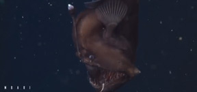 Rare footage of deep sea anglerfish captured by MBARI Photo