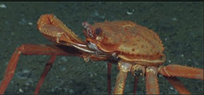Video: Crab vs. methane vent Photo