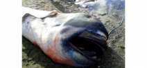 Megamouth shark specimen found in Philippines Photo