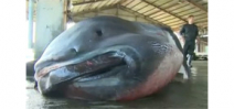 Extremely rare Megamouth shark caught off the coast of Japan Photo