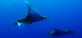 Study shows that devil rays dive deep Photo