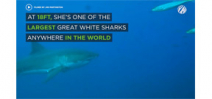 Video: 18 foot Great White Shark Photo