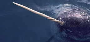 Secrets of the narwhal's tusk revealed Photo