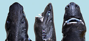New species of lanternshark described Photo