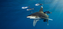 NOAA consults on oceanic whitetip protection Photo