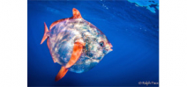 Opah found to be first warm-blooded fish Photo