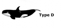 Scientists describe new species of orca Photo