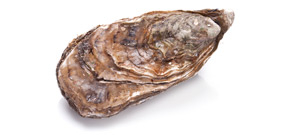 New study shows why oyster recovery in Chesapeake Bay is struggling Photo
