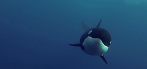 Video: Orcas at play Photo