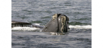 Over half the world population of right whales return to Cape Cod Photo
