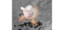 New species of river dolphin discovered in Brazil Photo