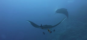Video: Manta Ray in 6K Photo