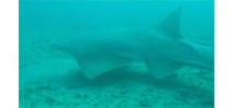 Diver encounters 10 critically endangered sawfish off Florida coast Photo