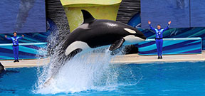 SeaWorld announces end of orca captive breeding program Photo