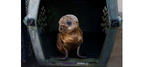 Why starving sea lion pups are showing up on California beaches Photo