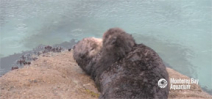 Visitors to Monterey Bay aquarium treated to birth of wild sea otter Photo