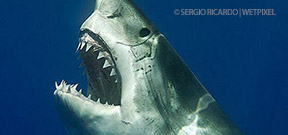 Image: Great White by Sergio Ricardo Photo