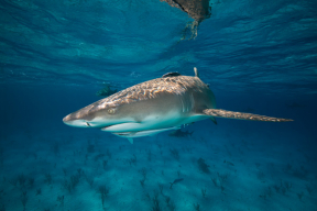 Australia's Greg Hunt approves shark cull Photo