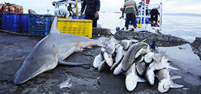 Sabah outlaws shark fishing in its marine parks Photo