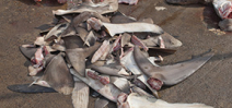 NOAA proposal weakens state shark finning statutes Photo