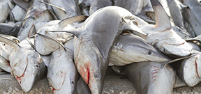 Study investigates illegal shark fishing Photo